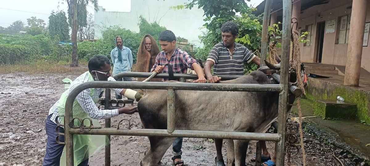 जनावरांमध्ये लम्पी आजाराची लागण; उपचारासाठी शेतकऱ्यांची धावपळ
