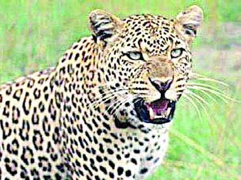 Leopard sighted