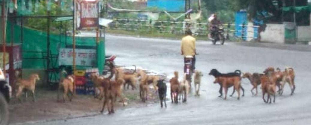 संगमनेरात अचानक प्रकटली शेकडो कुत्रे