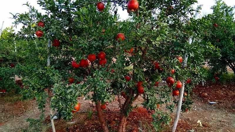 Pomegranate of Shirwade exported