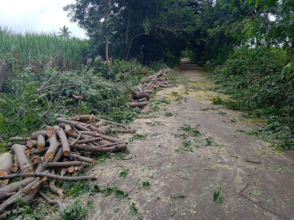 पाचेगाव-कारेगाव रस्त्यावर बेकायदेशीर वृक्षतोड