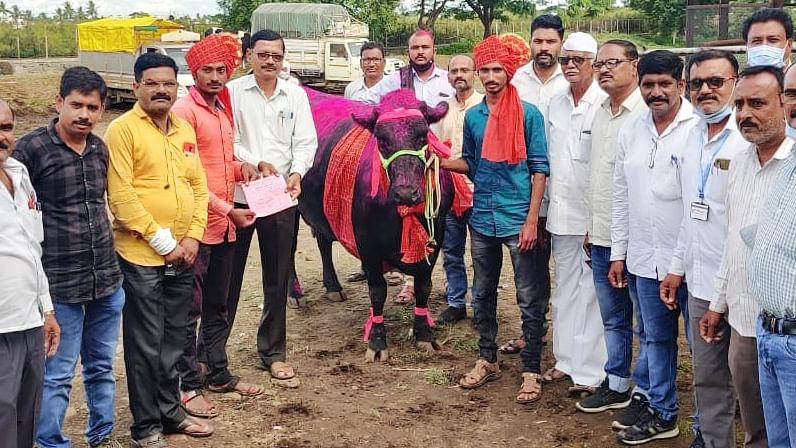 जनावरांच्या बाजारात गाय विकली तब्बल 'एवढ्या' लाख रूपयांना