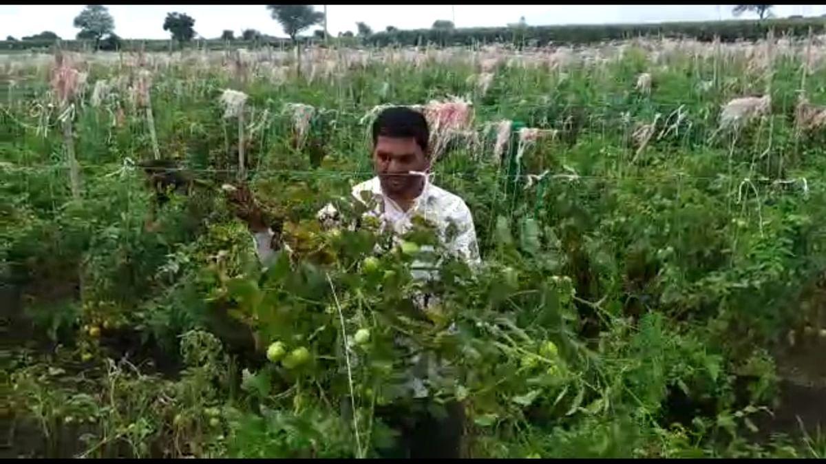 Video : येवल्यात पुन्हा टोमॅटोचा चिखल; उभी झाडे शेतकऱ्याने कापली