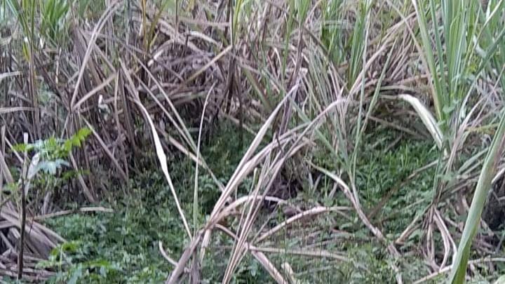 टाकळीमियात ऊस पिकावर हूमणी अळीचा प्रादूर्भाव