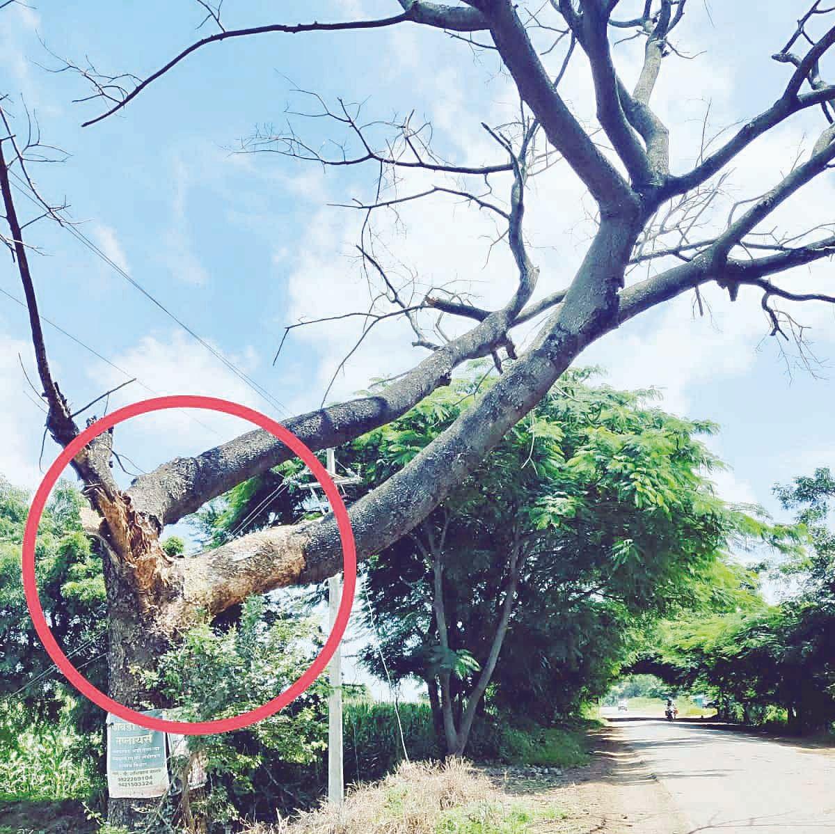 अभोणा रस्त्यावरील झाडे धोकेदायक स्थितीत