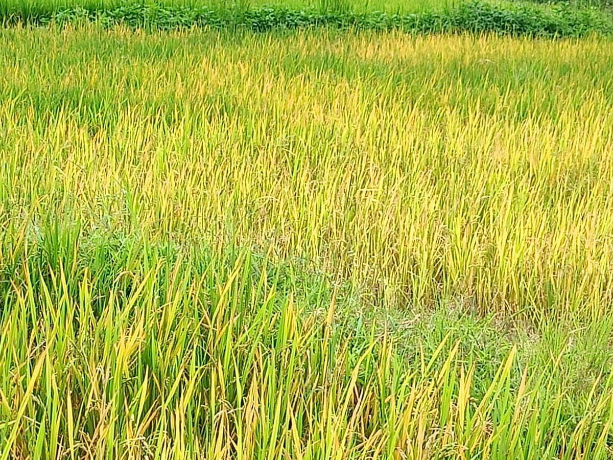 हवामान बदलाचा भात शेतीला मोठा फटका