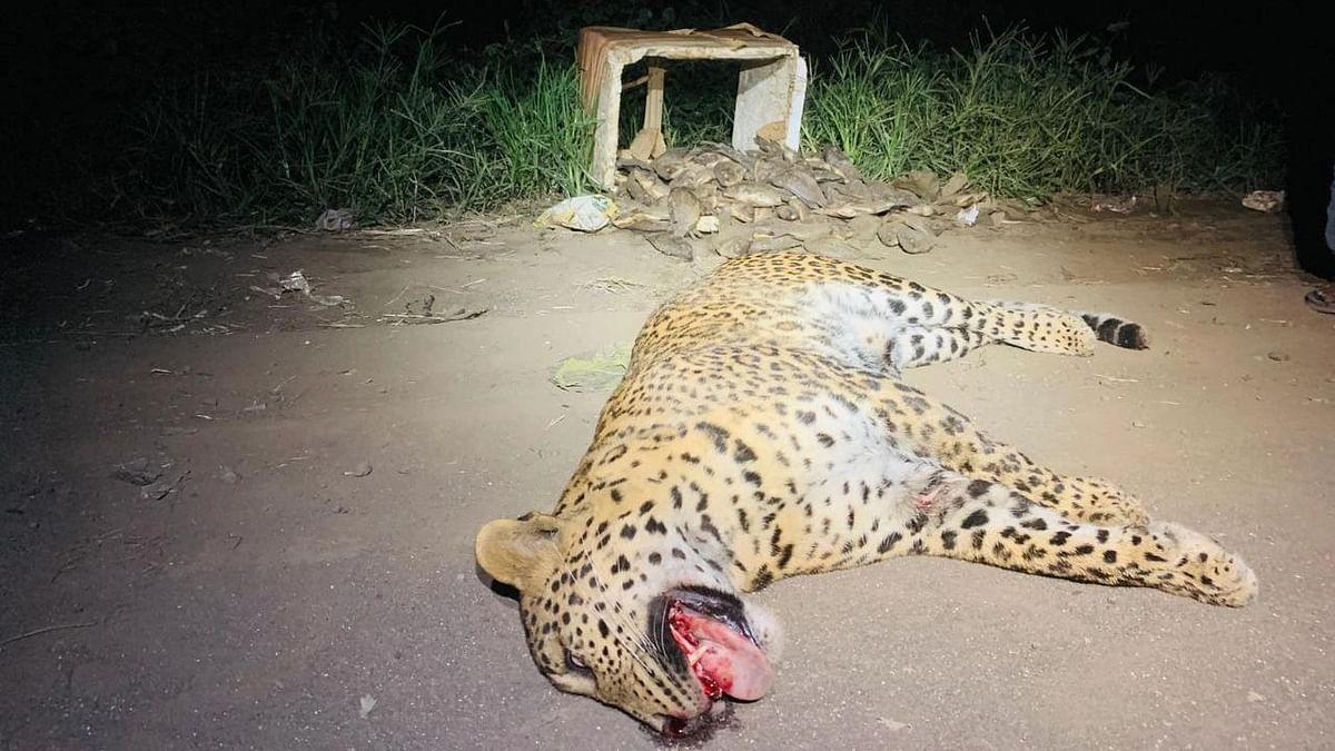 Leopard dies in roadkill