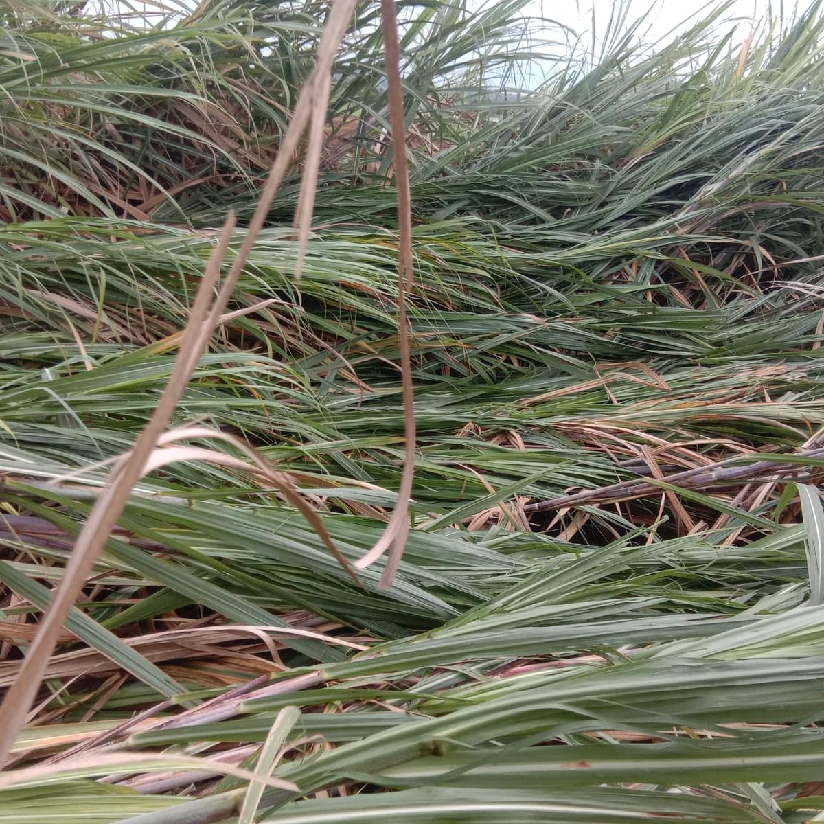 परतीच्या पावसाने झोडपले, पिकांचे मोठ्या प्रमाणात नुकसान