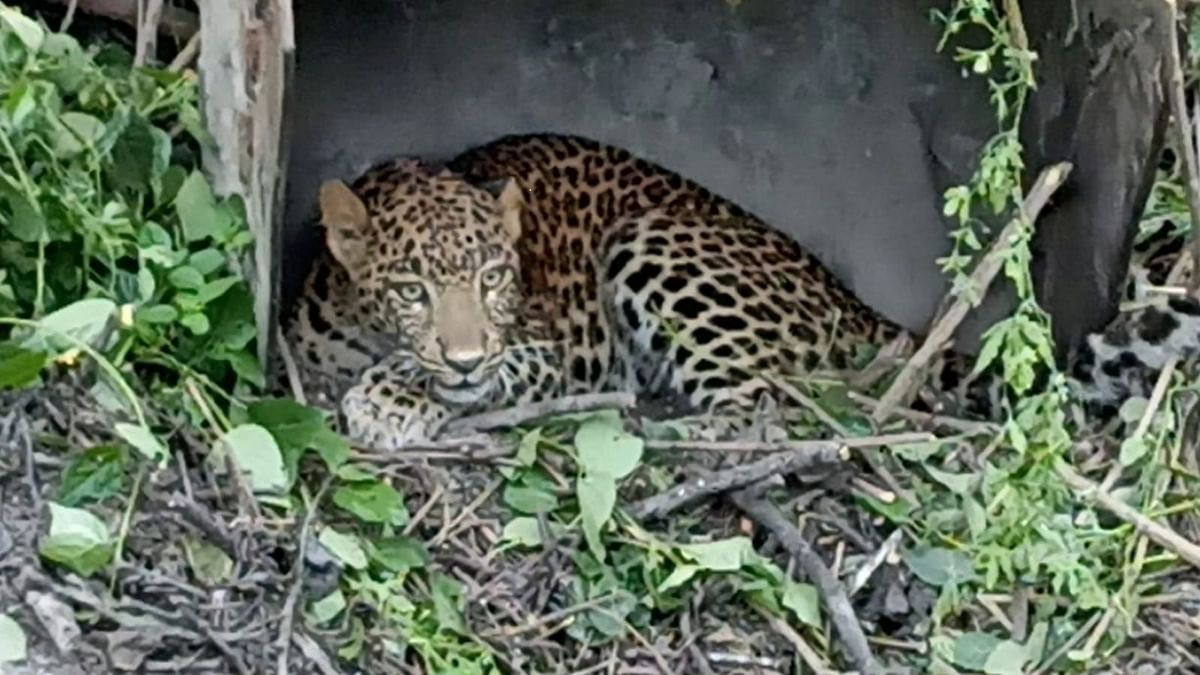 Leopard rescued from ashes' pile in Eklahare