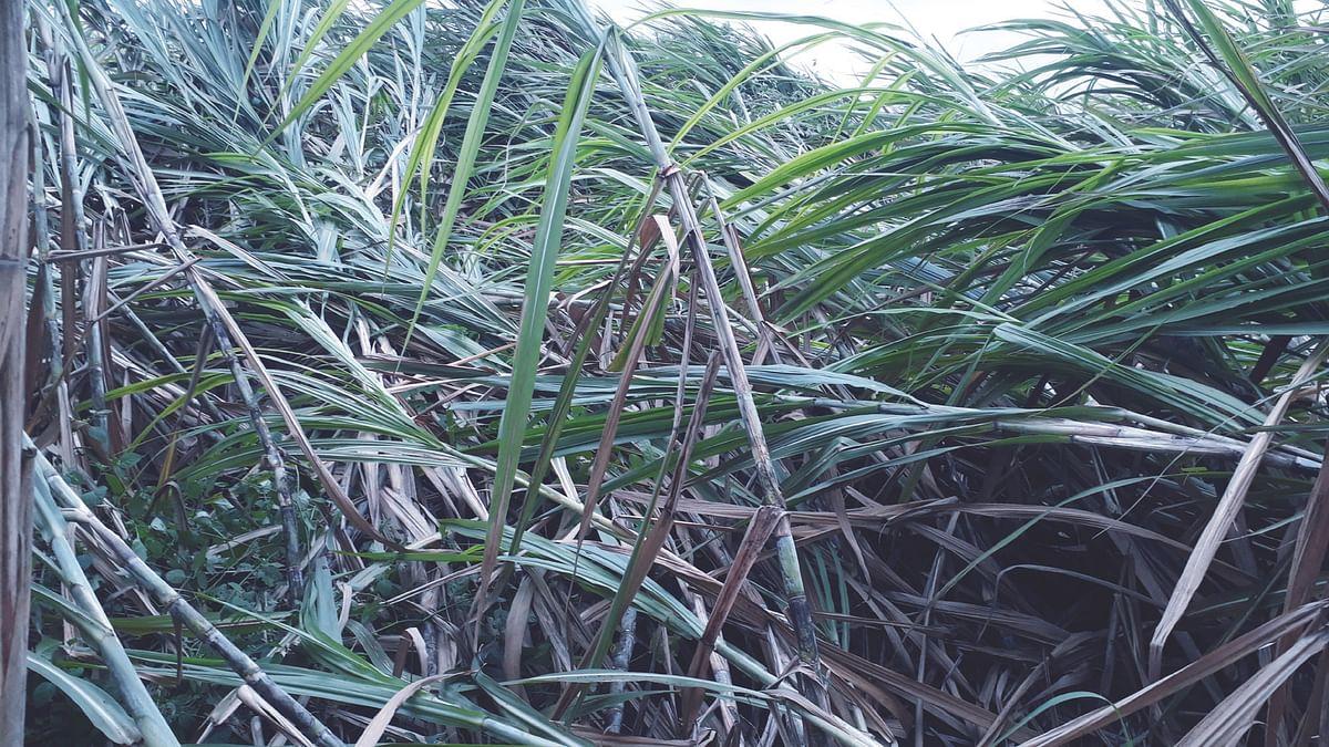 वादळी पावसाने चांदा परिसरातील पिकांचे प्रचंड नुकसान