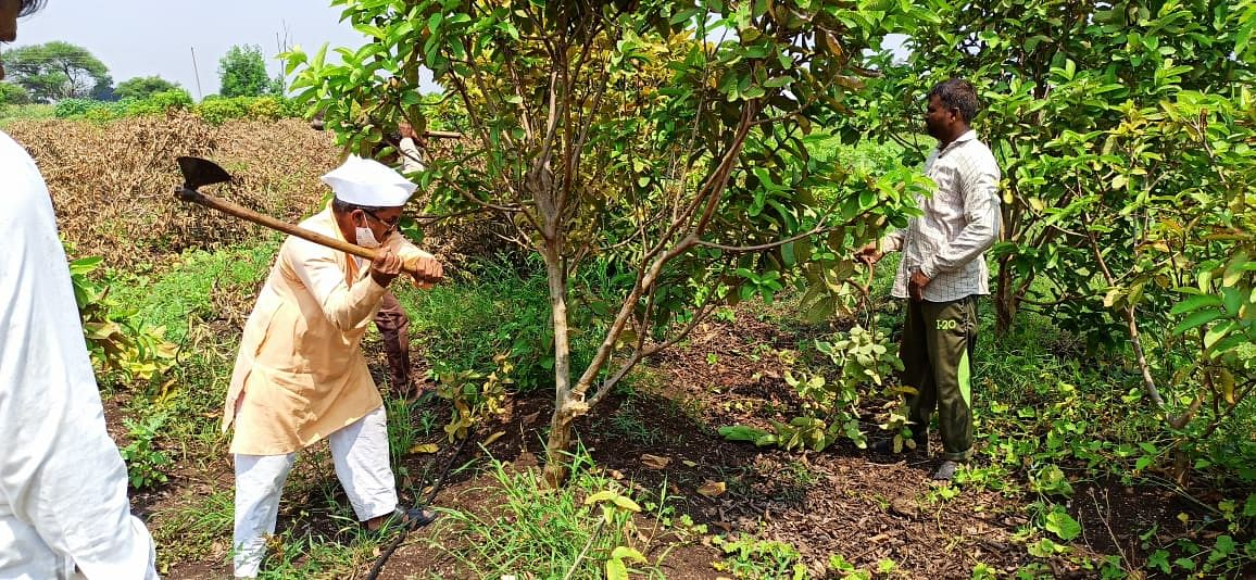 खर्च चार लाख, इन्कम झिरो; शेतकऱ्याने पेरूच्या बागेवर चालवली कुऱ्हाड