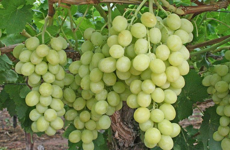 संकटांचे घाव झेलत निर्यातक्षम द्राक्ष उत्पादन