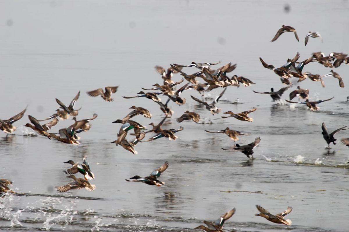 पक्षी गणनेत ३० हजार पक्ष्यांची नोंद; अतिवृष्टीमुळे परदेशी पक्ष्यांचे आगमन लांबले