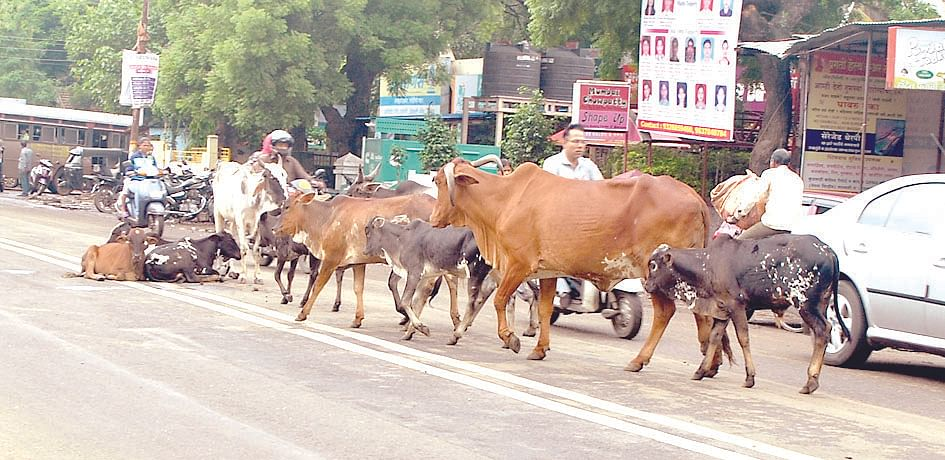 Stray animals problem on the rise in Devlali
