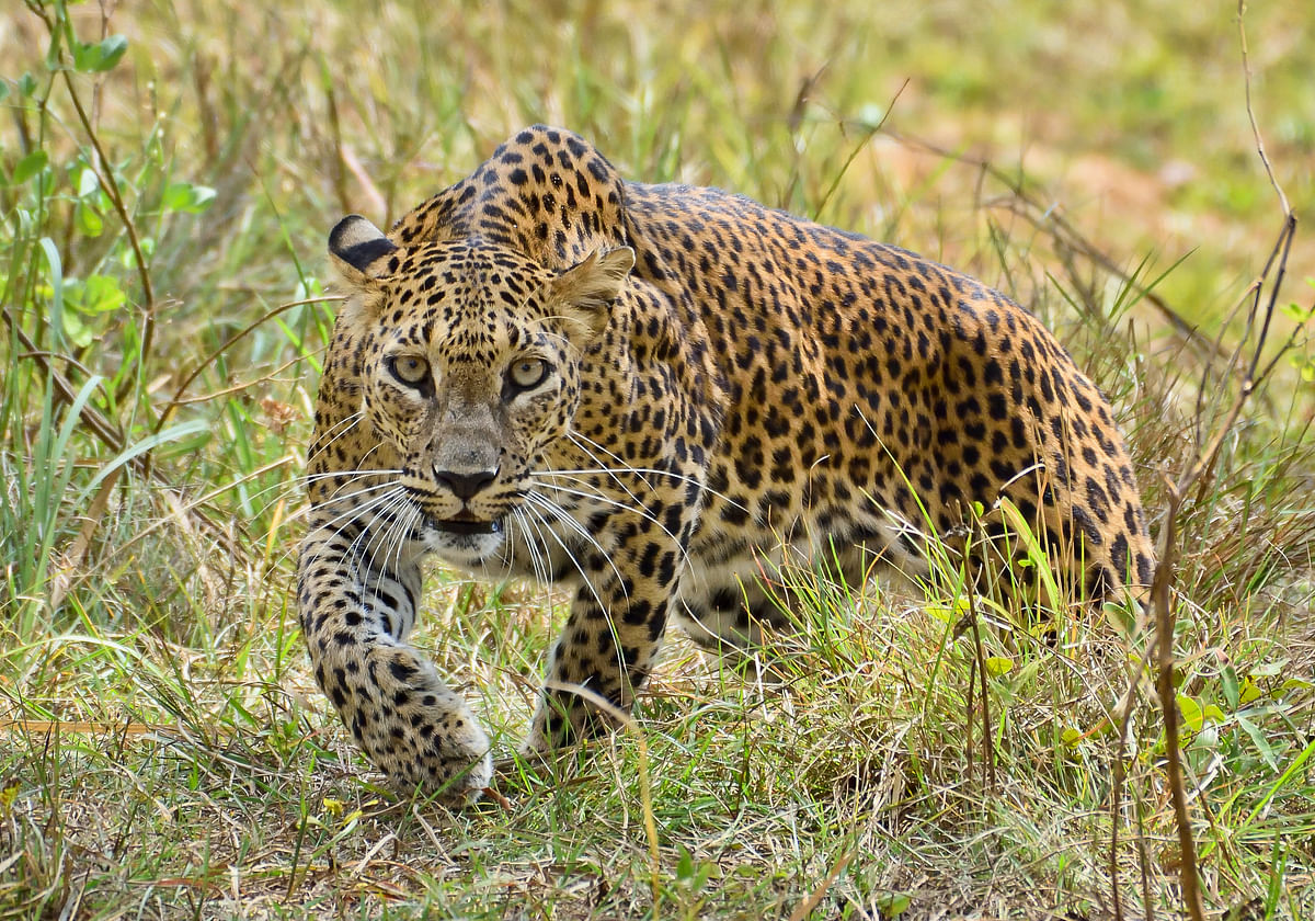 Leopard sighted in Manur Shivar