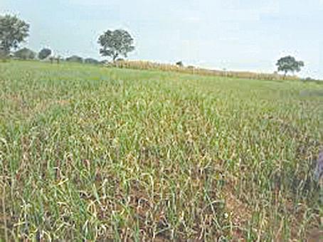 राहाता तालुक्यातील 35 हजार शेतकर्यांना खरीप पिक विम्याची प्रतिक्षा