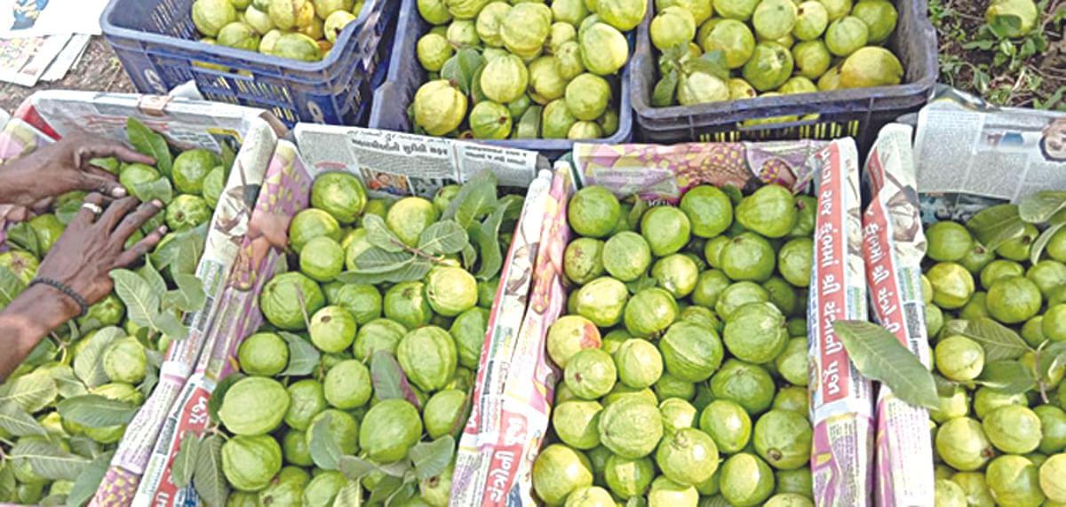 पेरू व डाळिंब फळांचे भाव पडल्याने शेतकरी चिंतातूर