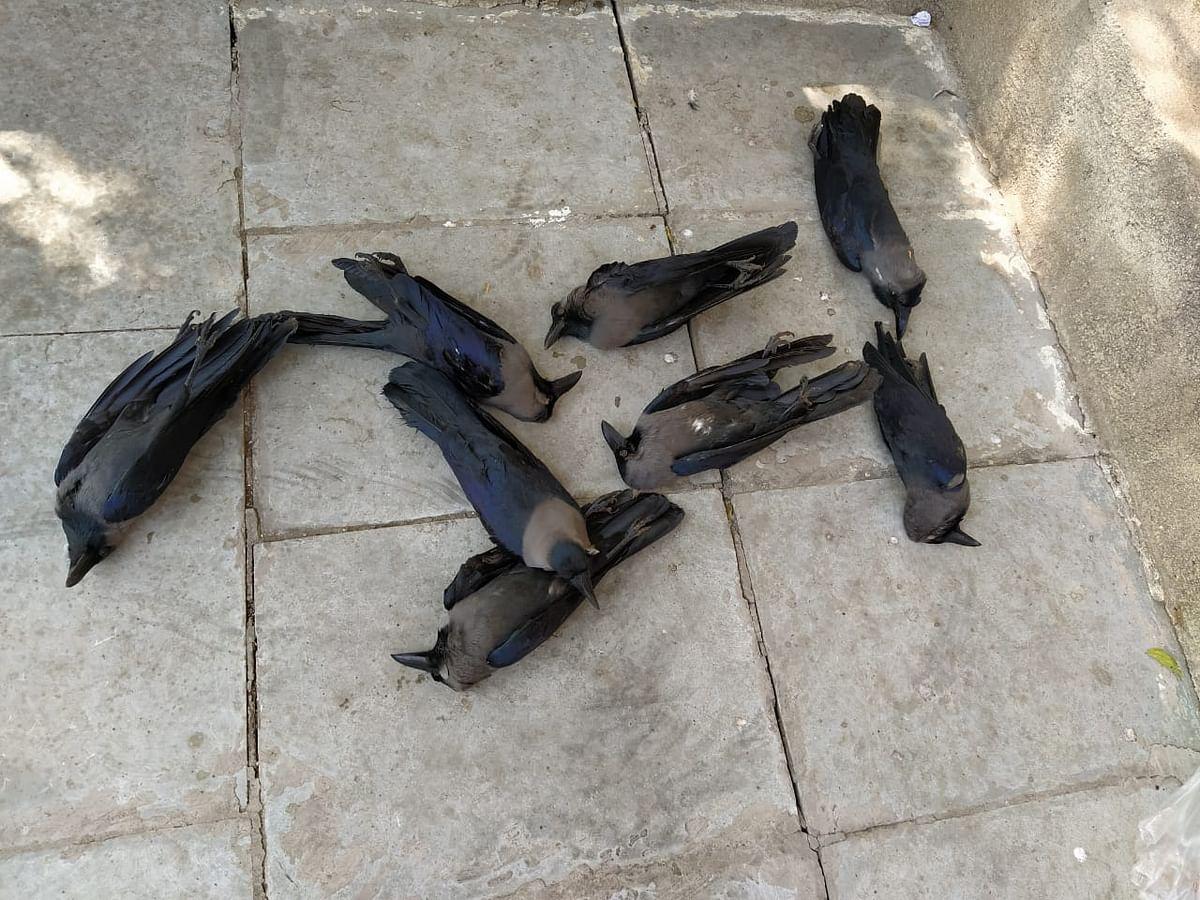 प्रवरासंगम परिसरात 25 कावळ्यांचा मृत्यू ; 15 बाधित