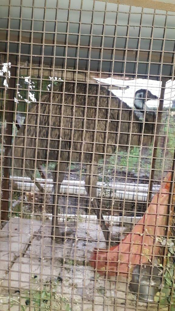 जानोरीत आढळला शहामृग पक्षी