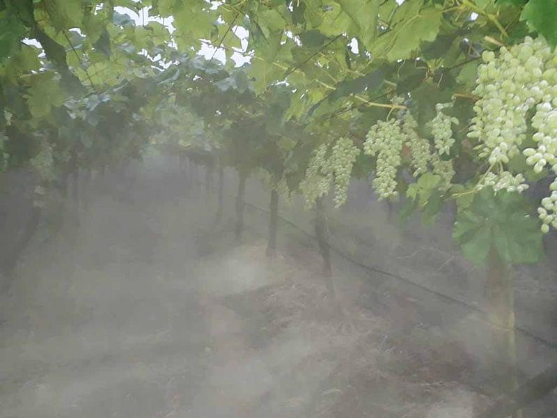 ढगाळ हवामान व धुक्यामुळे द्राक्षबागा धोक्यात