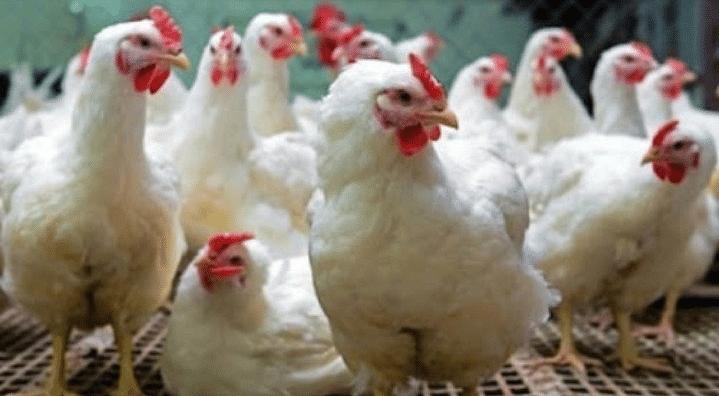 कोरोनामुळे चिकनचे दर 50 रुपये किलोने ढासळले