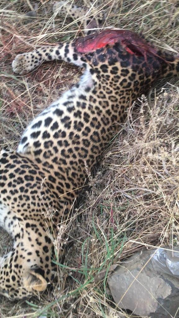 त्र्यंबकेश्वर : ब्रम्हा व्हॅलीजवळ अज्ञात वाहनाच्या धडकेत बिबटयाचा मृत्यू