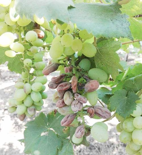 अवनखेड परिसरात द्राक्षबागेवर उकड्याचा प्रादुर्भाव