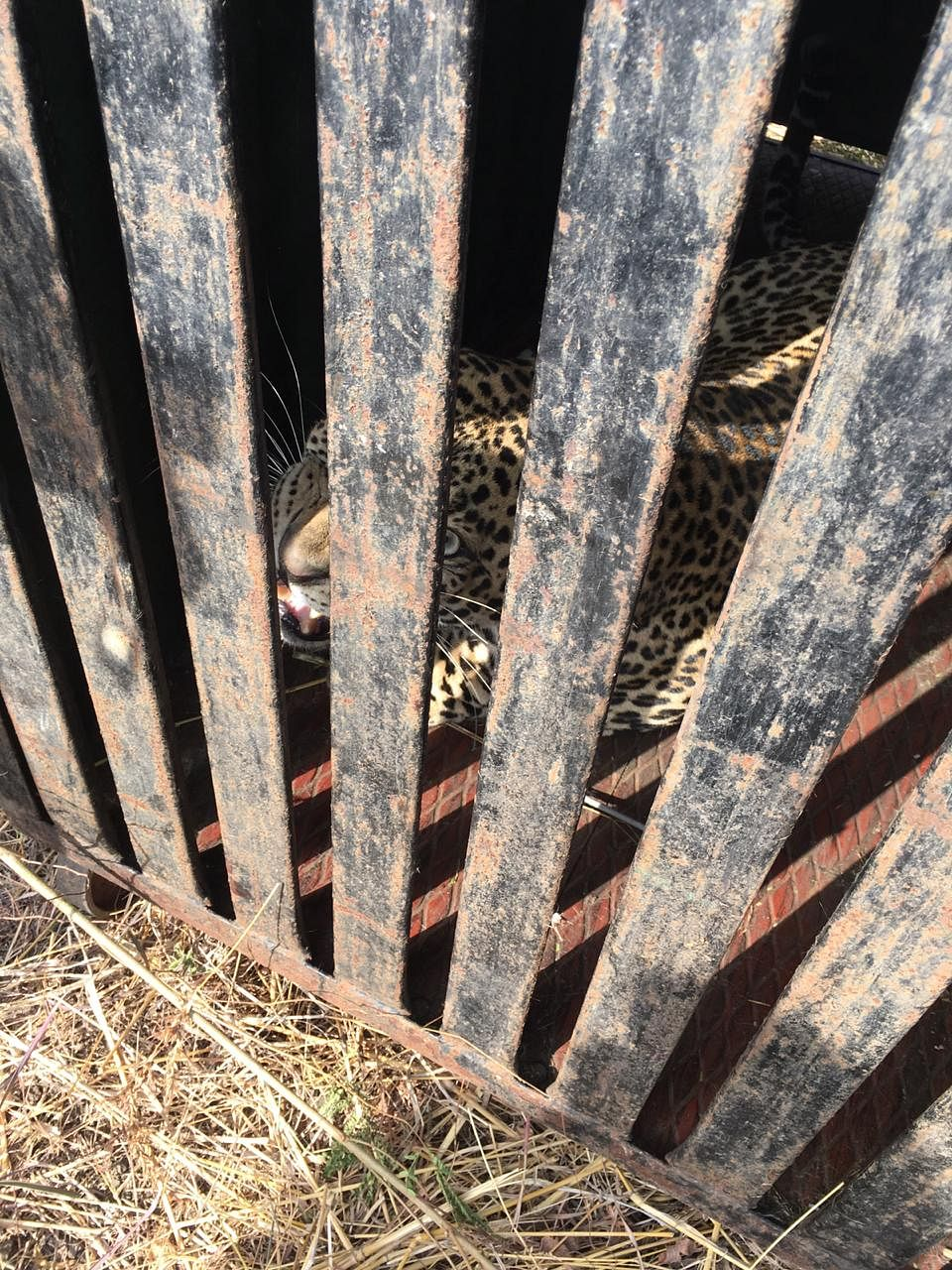Leopard trapped in Niphad taluka