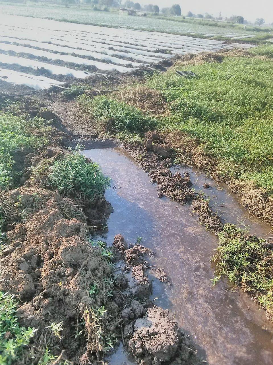 आवर्तनाचे पाणी फुगवटा तोडून थेट शेतात; दारणा नदीपात्रालगत पिके नष्ट होण्याची भीती