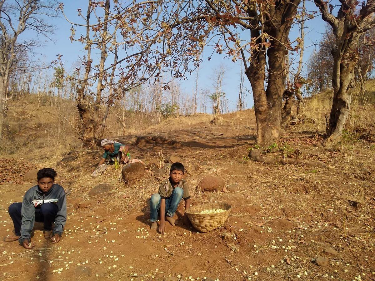 लॉकडाऊनच्या काळात आदिवासींना वरदान ठरतोय मोह वृक्ष