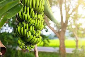 केळी भावात पाच वर्षात मोठी घसरण