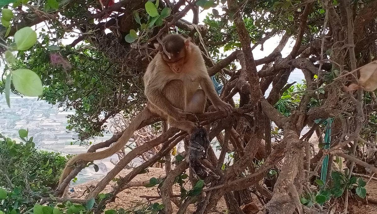 Video : सप्तशृंगी गडावर फुटला मायेचा पाझर; माकडीन सांभाळतेय पंधरा दिवसांपासून मृत पिलाला