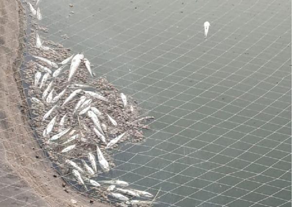 शेततळ्यात विषारी औषध टाकल्याने हजारो मासे मृत्यूमुखी