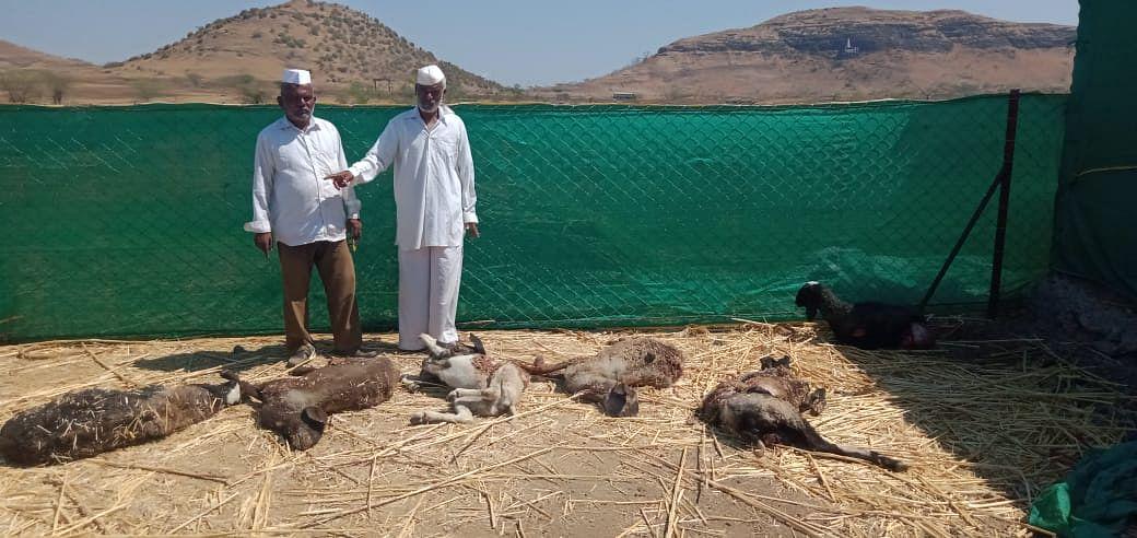 सिन्नर : सोनांबे येथे बिबट्याच्या हल्ल्यात सहा मेंढ्यांचा मृत्यू