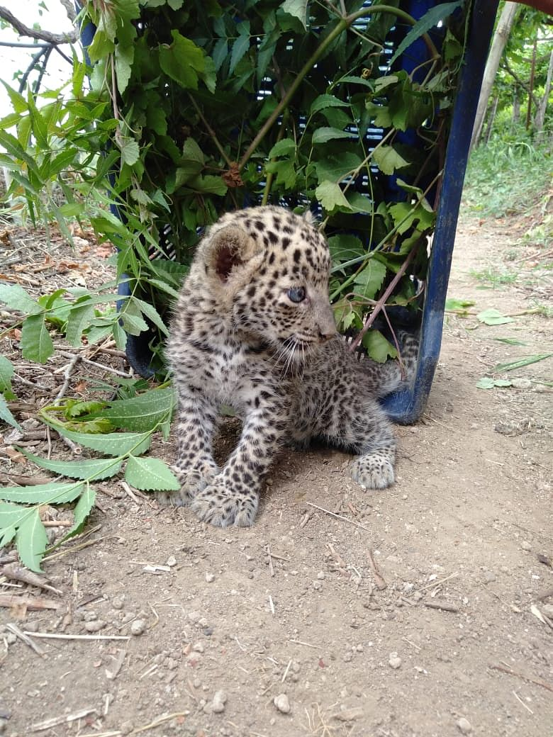 Cyclone separates leopard cub and mother; Cub shifted to Borivali national park