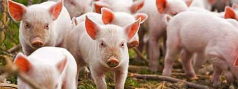 Piggery farmers have been advised to refrain from bringing pigs from outside Manipur