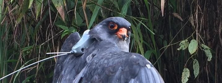 An amur falcon, which was recently satellite-tagged and named 'Manipur' as part of the Amur Falcon Dance Festival 2018, was found killed in Tamenglong district