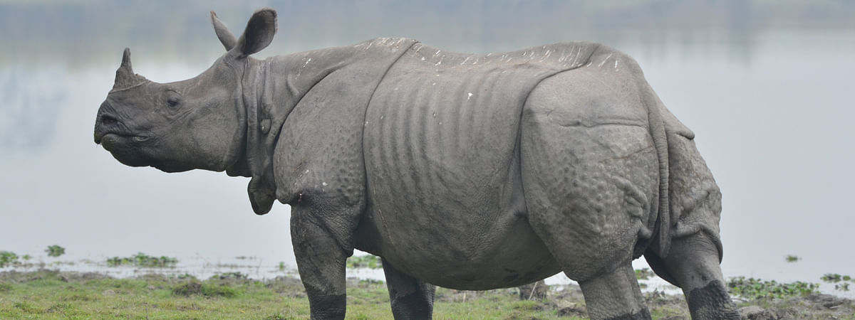 As per Traditional Chinese Medicine, rhino horns cure ailments like fever and food poisoning while tiger bones are believed to improve masculinity