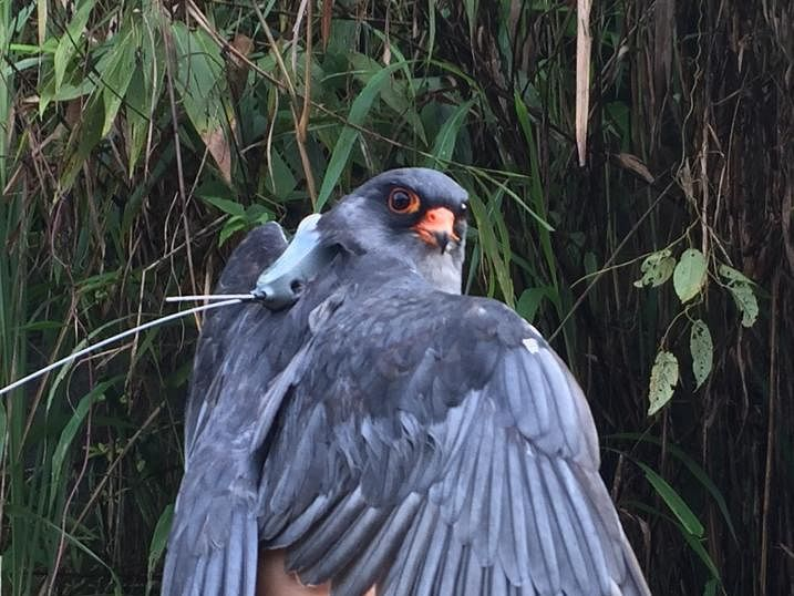 Amur falcon killing: Air guns banned in another Manipur district
