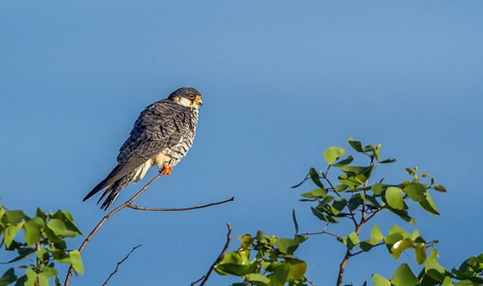 Weighing 160 grams on an average, amur falcons arrive in the Northeast, mainly in Manipur and Nagaland, on their south-bound migration during October from their breeding grounds in northern China, eastern Mongolia and far-east Russia en-route to their wintering grounds in South Africa