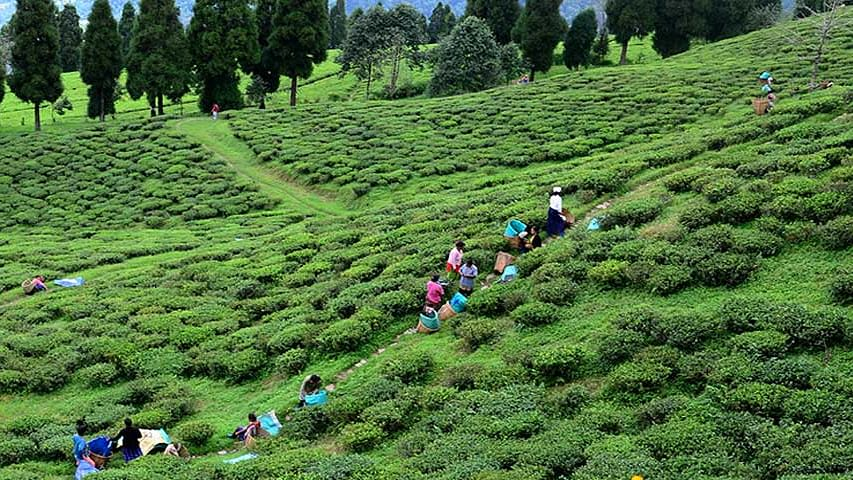 The region is very famous all over the world for the tea it produces