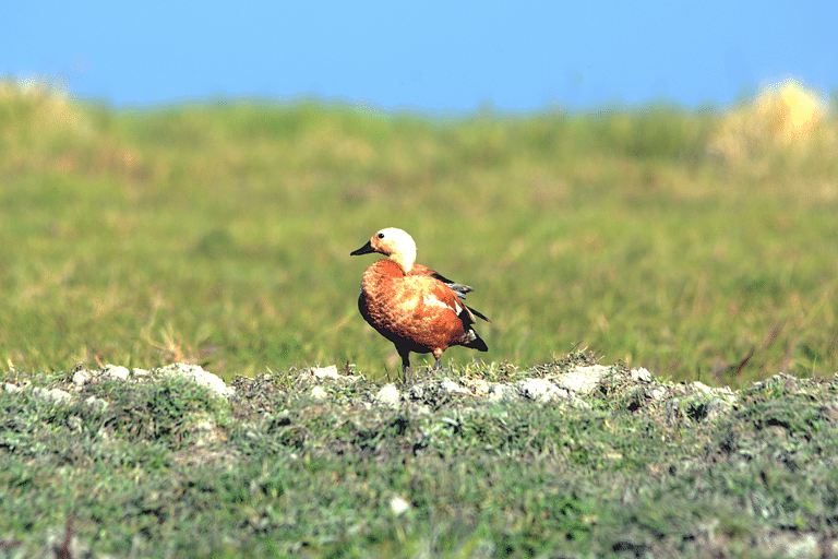 Ruddy shelduck in the proposed area of Thinungei Bird Sanctuary. Ducks and geese are the most prominent visitors in this region