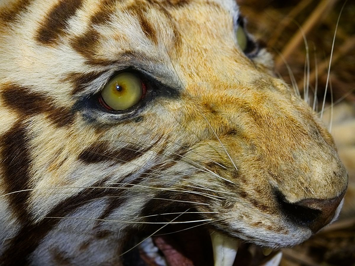 Assam villagers kill leopard, bury carcass in Sivasagar; 3 injured