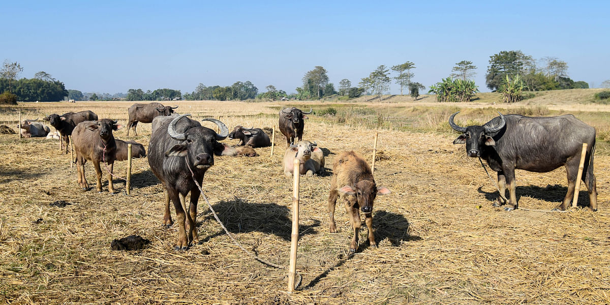 Cows and buffaloes grazing at the lands adjacent to Kaziranga National Park at Belogudi village in Golaghat district