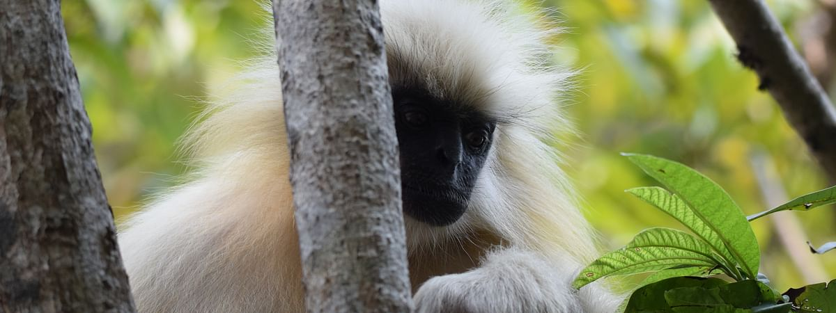 The only golden langur of Umananda is undergoing severe depression and behavioral changes.