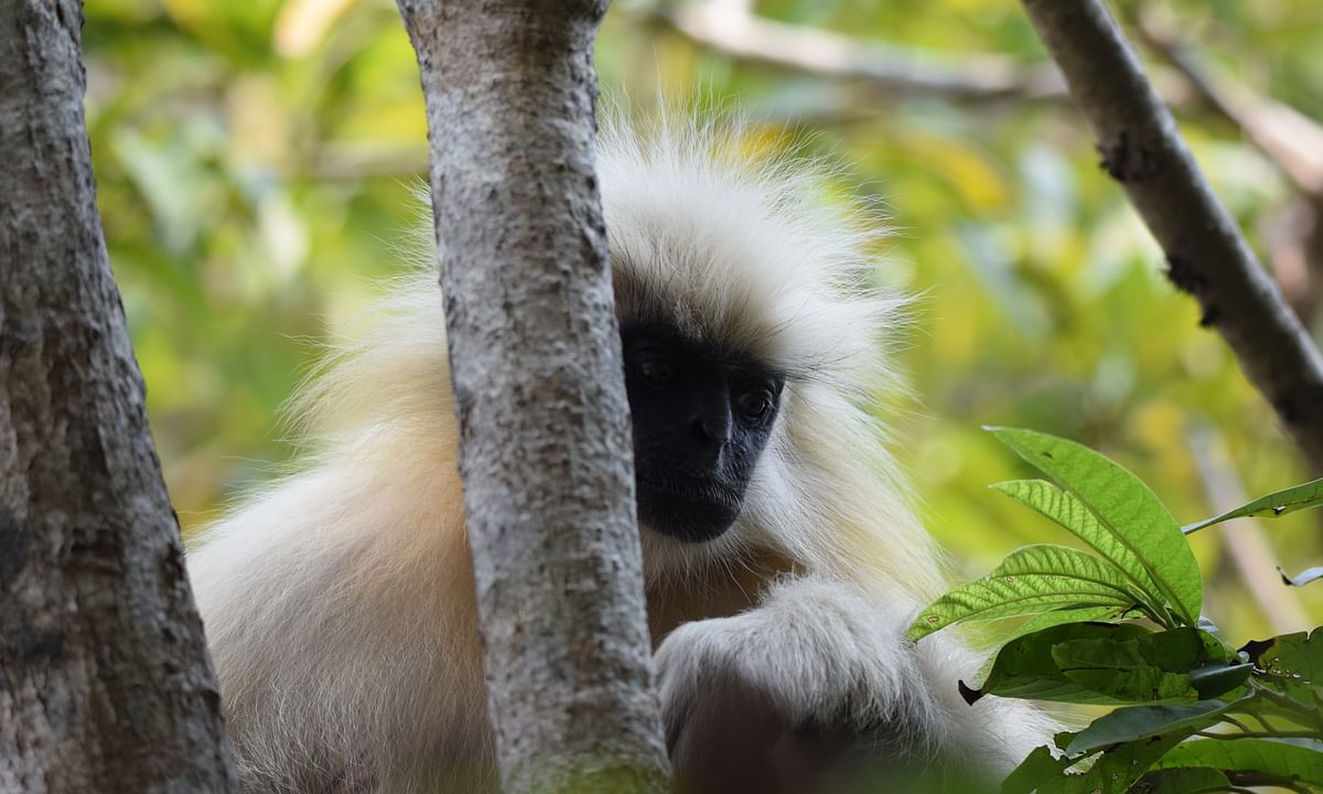 Assam: Umananda's lone golden langur struggles for survival