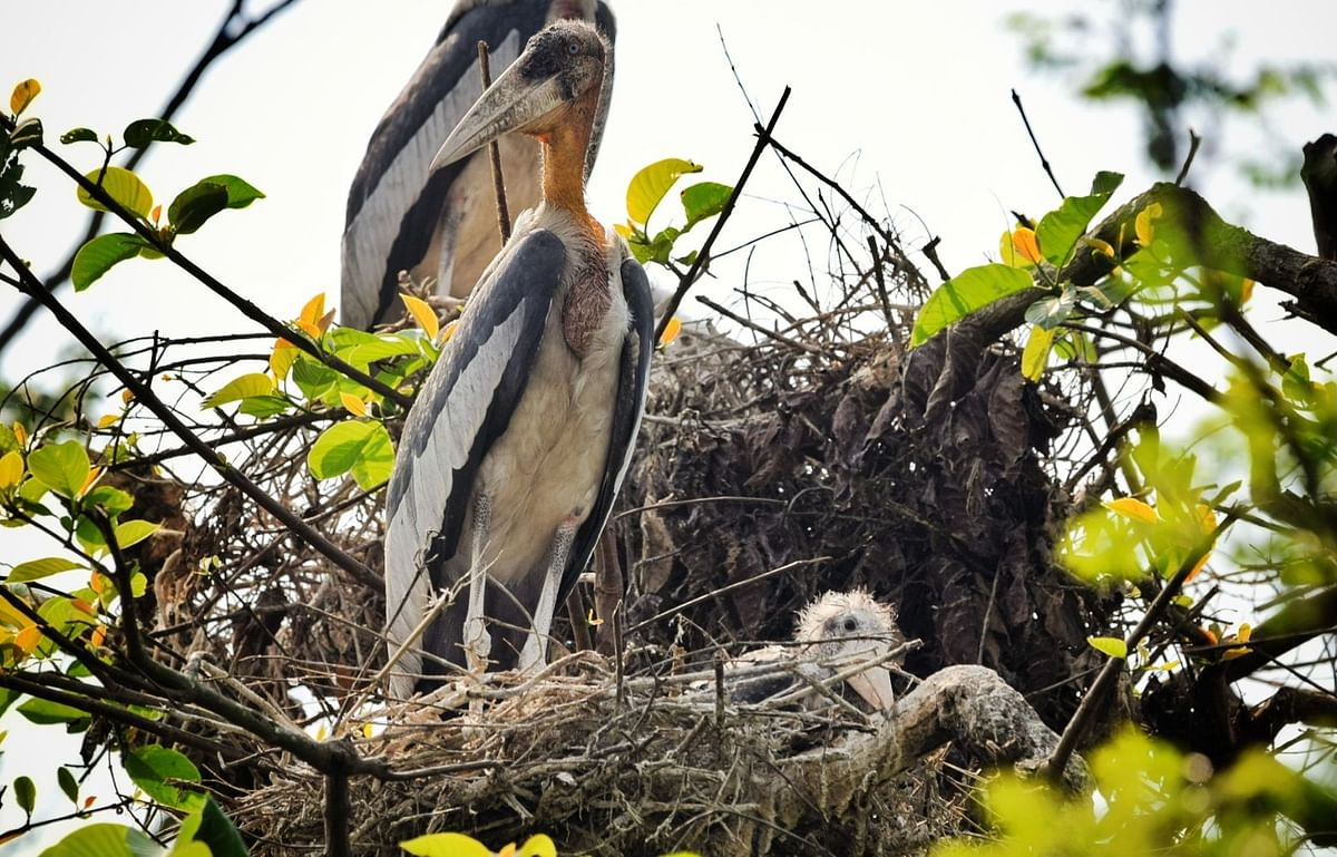 Flanked by food-rich wetlands and brimming with tall trees, Dadara in Assam's Kamrup district has become a perfect place for nesting for the endangered greater adjutant storks