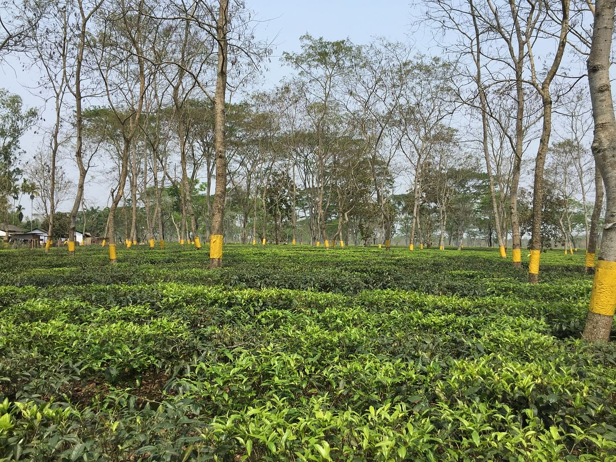 Halmira tea estate, Golaghat district's first tea estate run under a public private partnership (PPP) mode