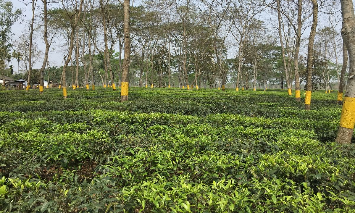 Assam doc killing: Teok Tea Estate lockout to be lifted in phases