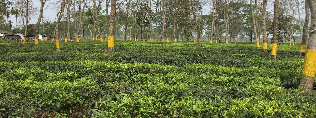 The tea estate will be opened after written assurance from workers